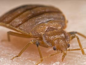 Bed Bugs Are Biting Back With A Vengeance