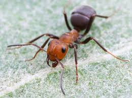 Argentine Ant Linepithima humile
