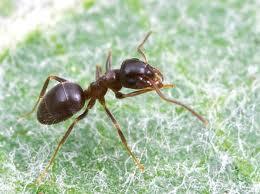 Black Ant Lasius niger