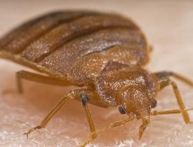 Bed bugs in Wirral