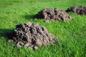 Molehills can look unsightly